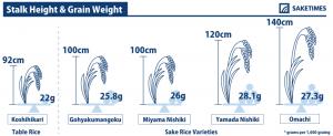 Stalk Height & Grain Weight of sakamai, sake rice