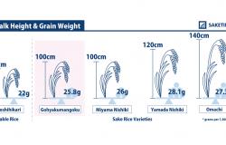 sake rice Gohyakumangoku